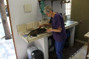 Another volunteer veterinarian vaccinates a patient puppy