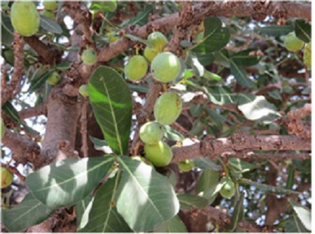 The Delicious Shade And Fruit Of The Motsaudi Tree Garcinia